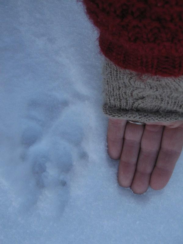 Er det ulv som har gått like foran oss på veien, mon tro? Foto: Karine Bogsti