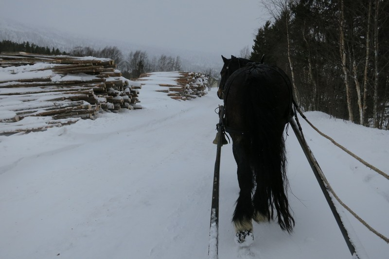 Slike høge lunner med tømmerstokker uten brytekant fantes nok ikke for 150 - 250 år siden. Men skogsdrift var nok hestenes viktigste bruksområde vinterstid den gang på f. eks Hedmarken, og ikke minst lenger nordover i Østerdalen. Foto: Karine Bogsti