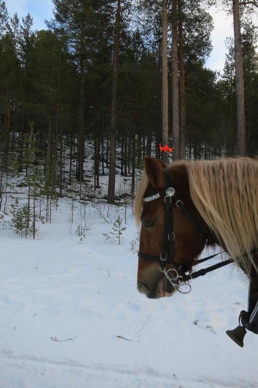 Jammen har de mye mer fargerike elger i Tolga, enn vi har på Hedmarken. Her passerer hesten Smukken restene av en. Foto: Karine Bogsti