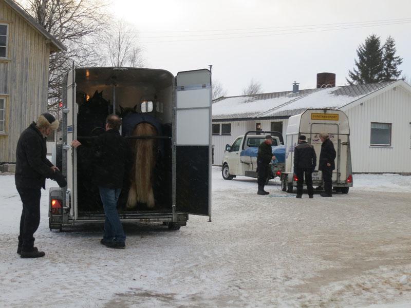 Hesta er på henger, og vi kjører til Tolga. Foto: Karine Bogsti