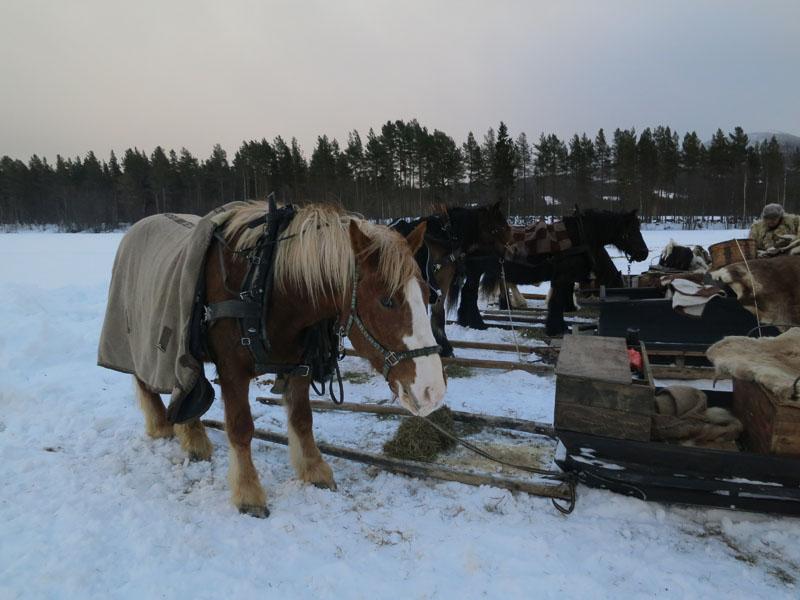 Det å ta vare på de norske hesterasene, er vi opptatt av i Hedemarken Lasskjørerforening, og vi kjører med det. Her er gampa til Fron Lasskjørarlag (i mye vind), og ikke noe annet enn dølahest som naturlig nok gjelder der. Foto: Karine Bogsti