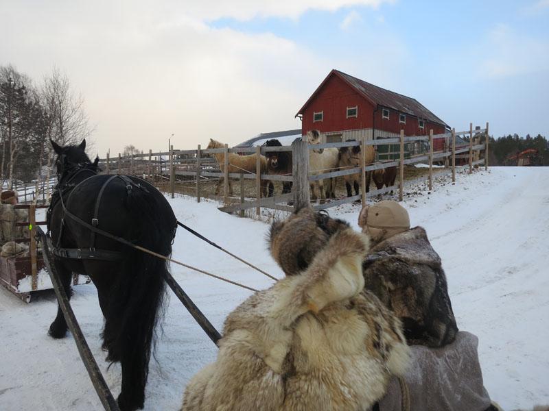 Noen Os-hester som gjerne vil slå følge. Foto: Karine Bogsti