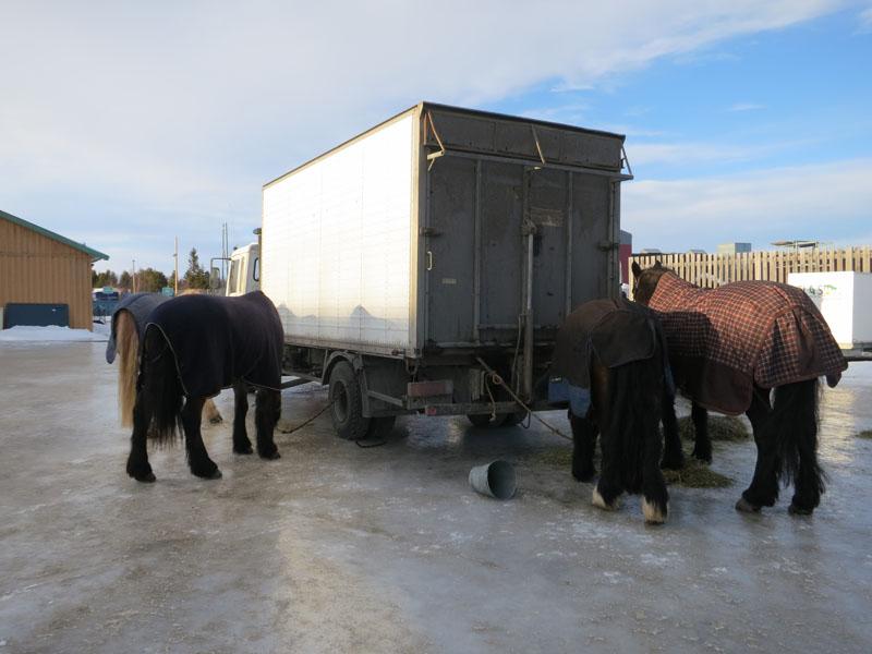Ingen av oss er i dag heltids lasskjørere med hest. Etter ti dager på tur tar vi derfor en snarveg når vi skal hjem, og bruker motoriserte kjøretøy. Det er nok noen hester som er klar for hvile. Foto: Karine Bogsti