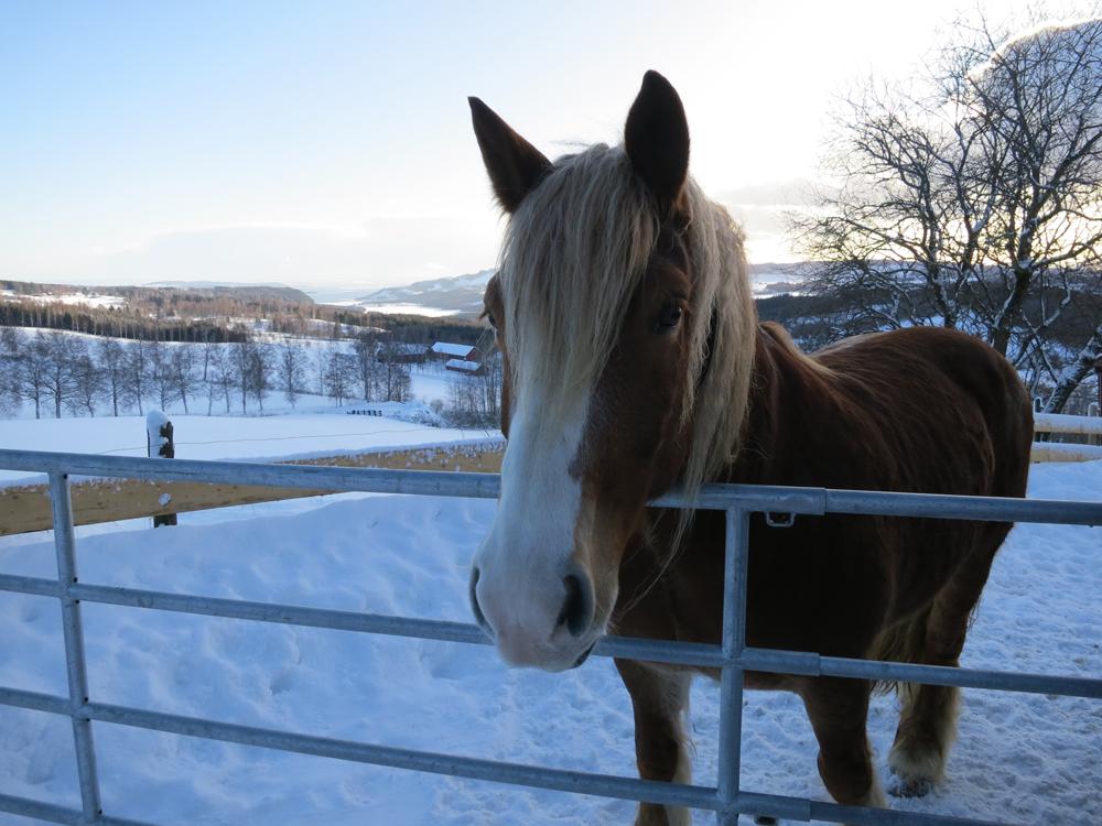 - Dere har vel ikke tenkt å reise fra meg? Åhneida! Mye nytt landskap og hesteselskap venter Brennsæterjinta. Foto: Karine Bogsti