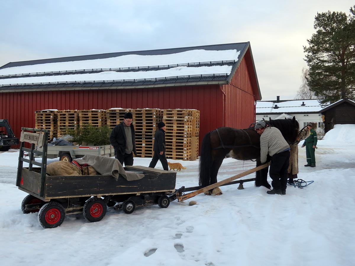 Endelig spennes hesta fra etter nok en dags arbeid. Foto: Karine Bogsti