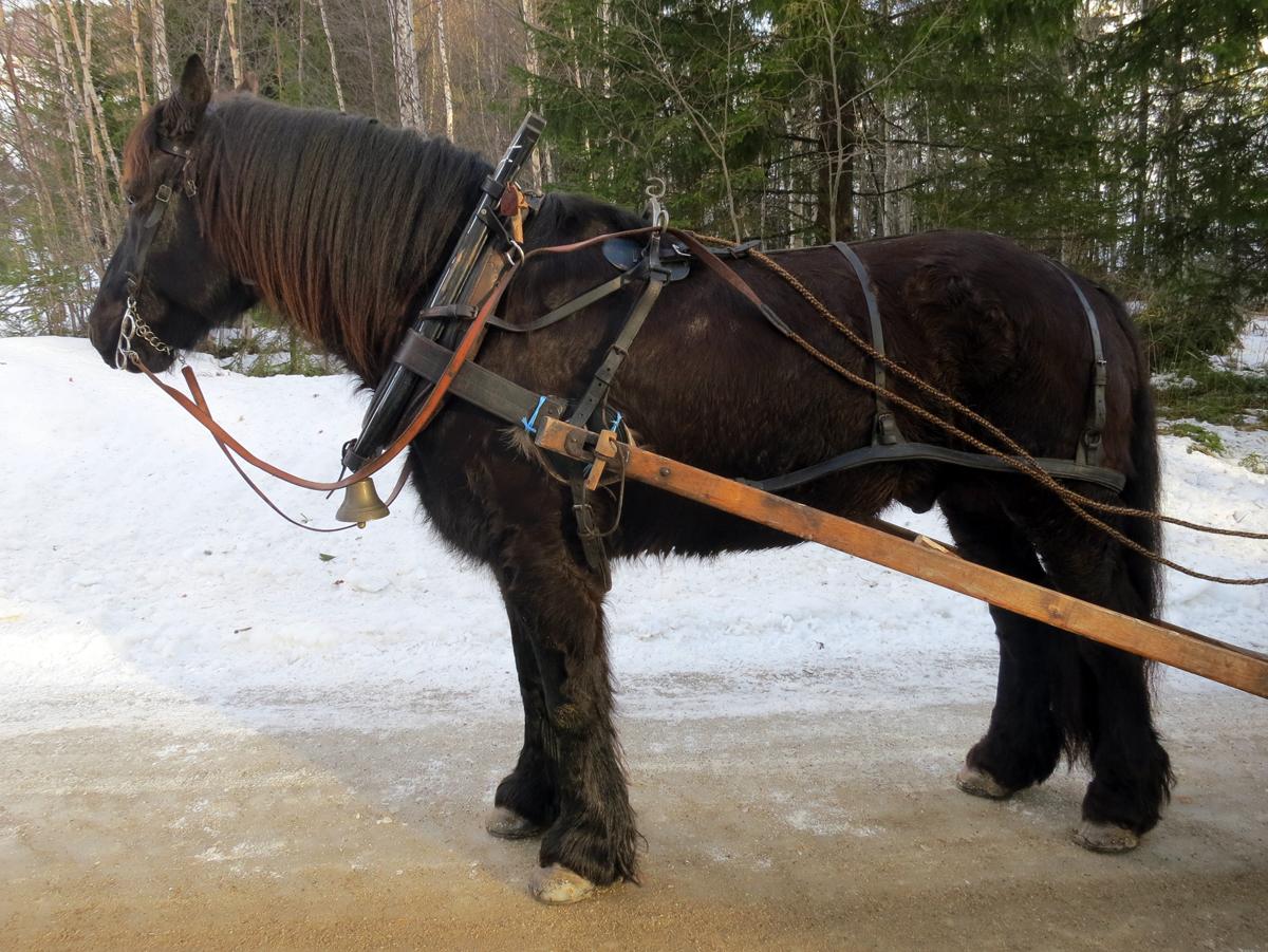 Hesten Oliver som Geir Ingvaldsen eier. Foto: Karine Bogsti