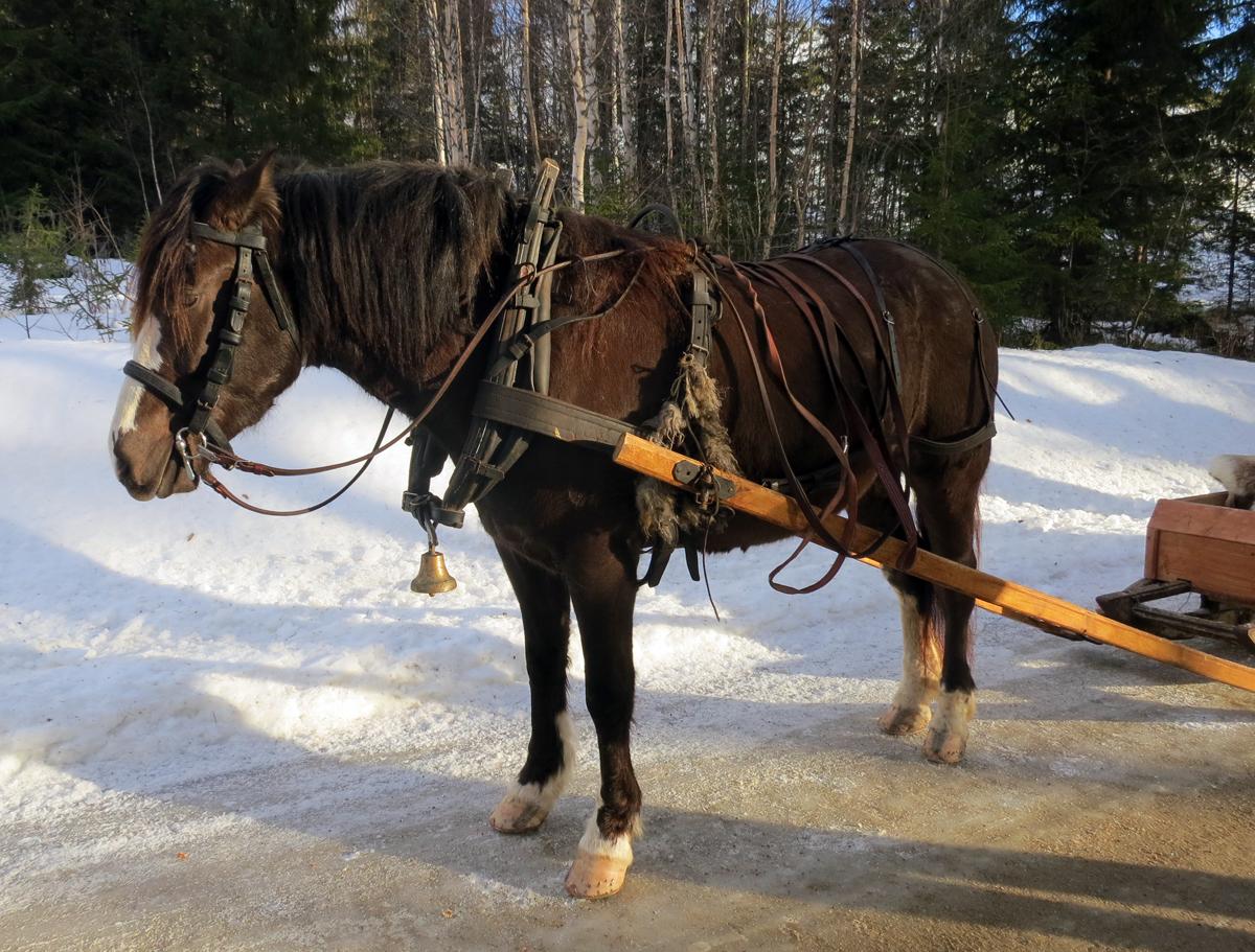 Hesten Lotta som Kjell Aage Øie-Kjølstad eier. Foto: Karine Bogsti
