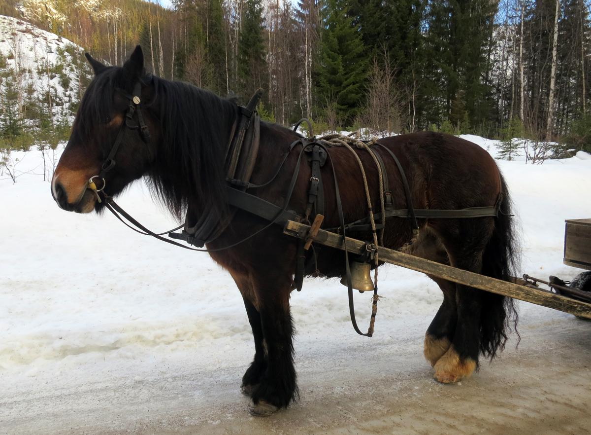 Hesten Romedalsprins som Truls Mathisen eier. Foto: Karine Bogsti