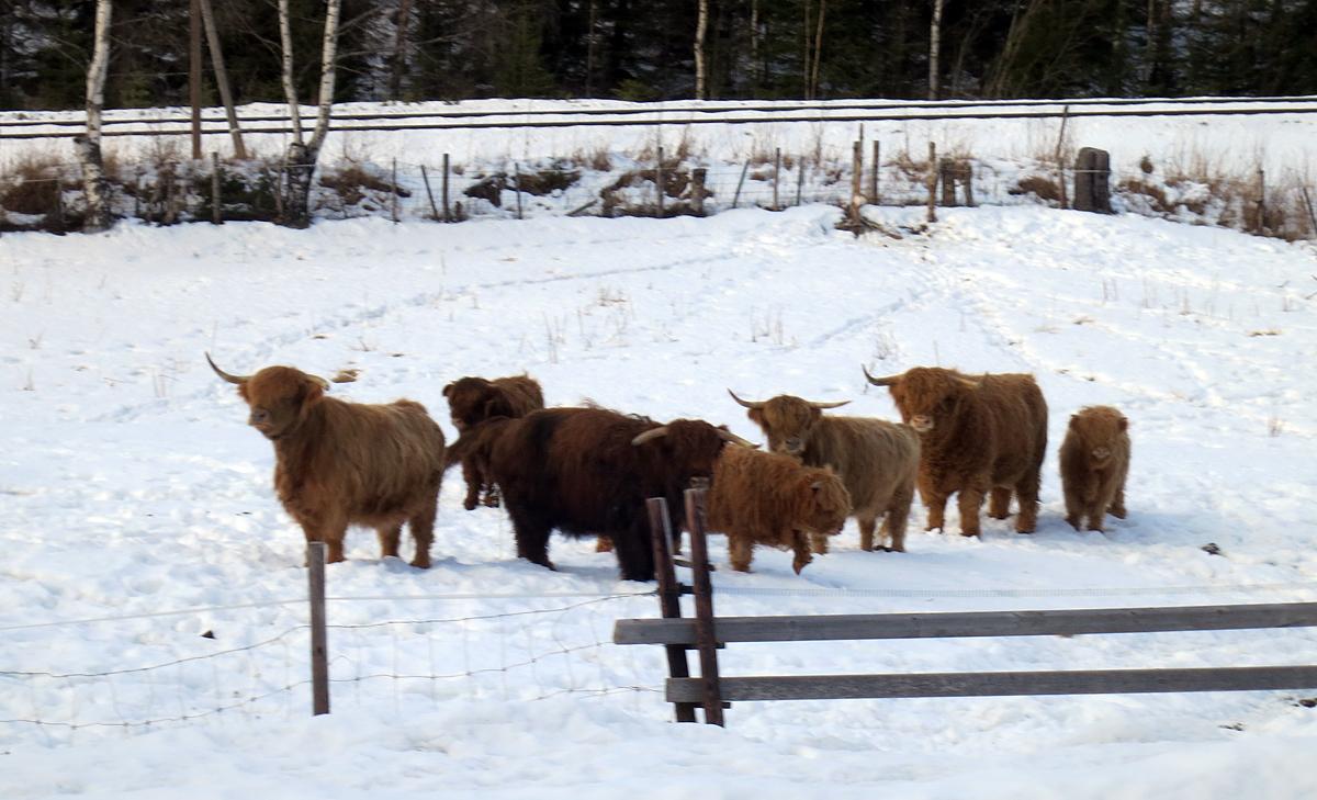 Vi møtte på denne langhåra gjengen med raggtasser i dag, som heller ikke gjør noe av å være ute i snøen. Foto: Karine Bogsti