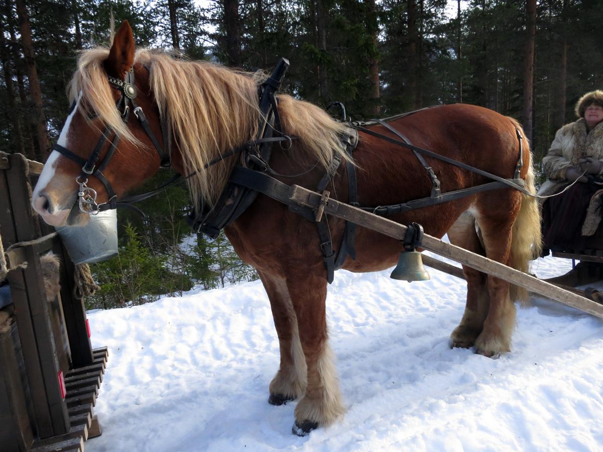 Hesten Brennsæterjinta som Jørgen Hveem eier. Foto: Karine Bogsti