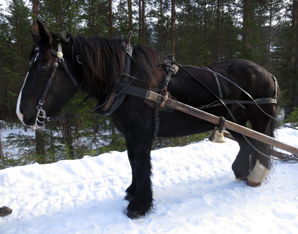 Hesten Guri Blessa som Jøran Lunde eier. Foto: Karine Bogsti