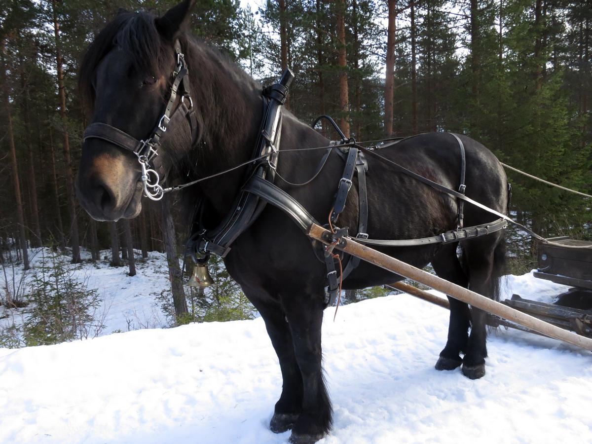 Hesten Molly som Erik Flagstad eier. Foto: Karine Bogsti