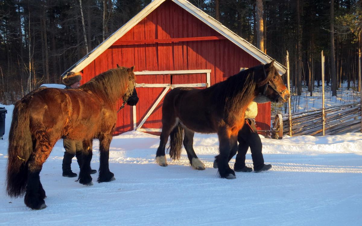 Romedalsprins og Oliver, to hester som siste 8 dager har dradd lass godt over 20 mil. Foto: Karine Bogsti