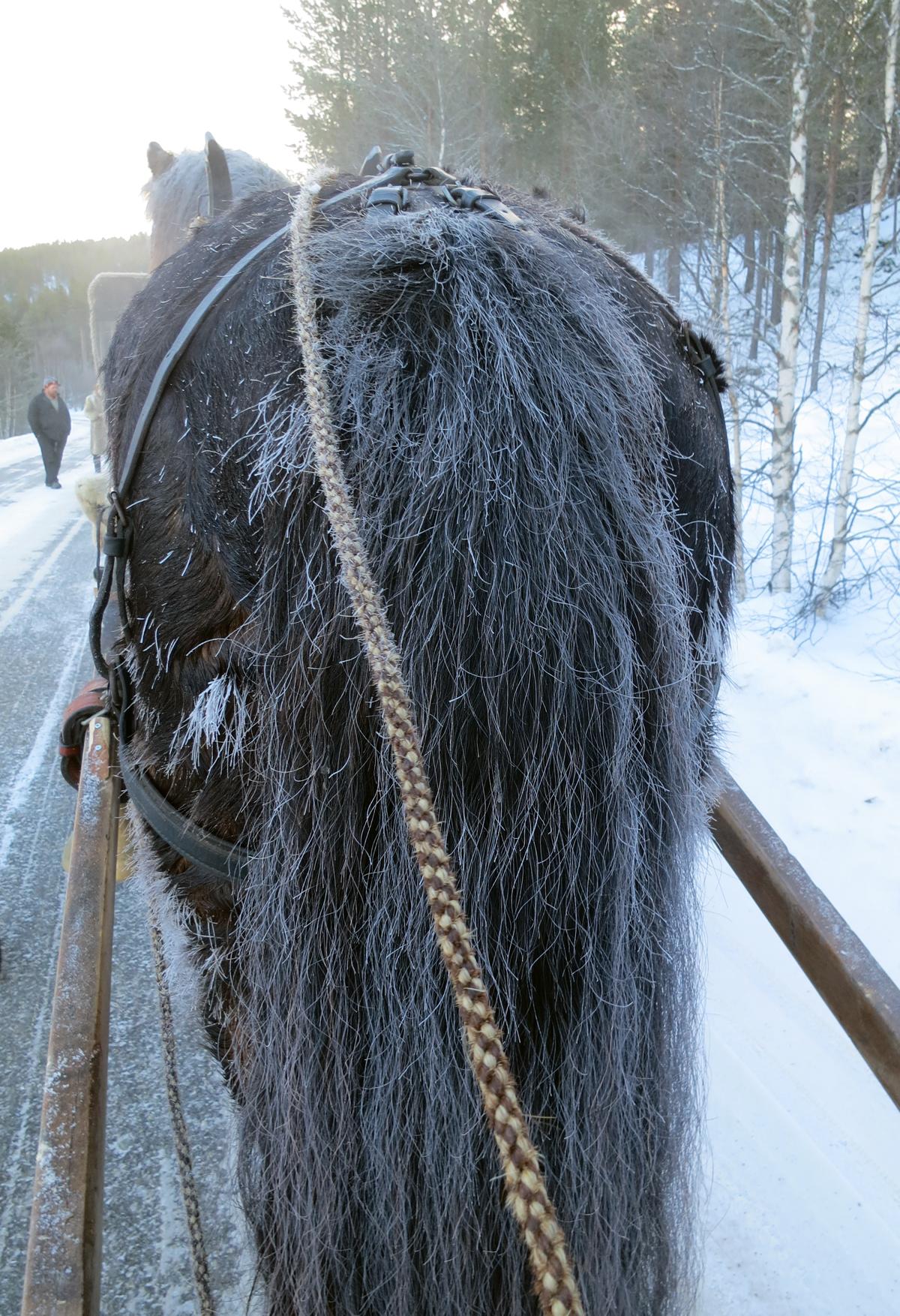 Nei, det er ingen gammel og grå hest. Men vi hadde 15 kuldegrader. Da rimer det på hesten. Foto: Karine Bogsti